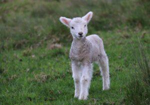 Lambo… #SheepToo