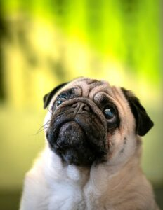 The curious case of the missing pug